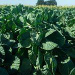 profitus-f1-semena-kapusty-bryusselskoi-syngenta (1)