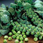 profitus-f1-semena-kapusty-bryusselskoi-syngenta (2)