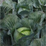 kilastor-f1-semena-kapusty-bk-pozdnej-syngenta