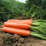 carrot_Romance_F1