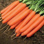 romans_f1-carrot_nunhems