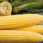 semena-kukuruzykukuruza-gss-1453-f1-21444044994345