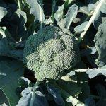 monako-f1-semena-kapusty-brokkoli-syngenta