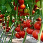baribin-f1-semena-tomata-indet-syngenta