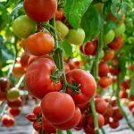 devonet-f1-semena-tomata-poludet-ranneho-90-95-dn-okr-200-210-hr-syngenta