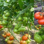 tomat-gravitet_1