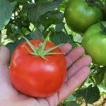 967394030_semena-tomata-bostina