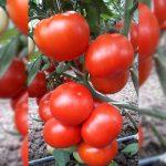 kaponet-f1-semena-tomata-poludet-syngenta