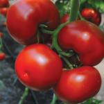 semena-tomatatomat-bostina-f1-38798778061546